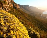 Flowers bloom amidst the fynbos on the slopes of the Twelve Apostles.