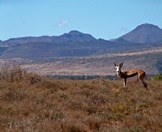 A springbok in the Karoo.