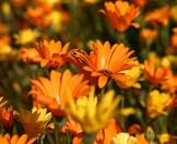 A close up of springtime flowers in the Cederberg.
