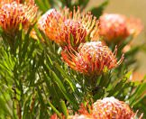 A wide variety of proteas occur across the Western Cape.
