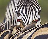 A trio of red-billed oxpeckers on the back of a zebra.