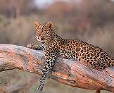 Leopards are frequently spotted lounging in trees.