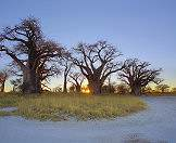 Ancient baobabs sculpt the landscape of the flat Nxai Pan.