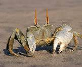 Crabs are common across the beaches of Mozambique.