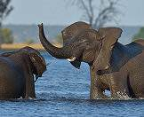 The Chobe River draws thousands of elephants to its fertile shores.