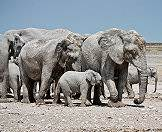 Etosha National Park is home to healthy populations of African elephant.