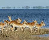 Red lechwe are water-loving antelopes.