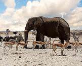 Etosha's waterholes draw wide varieties of wildlife.
