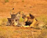 Lions are common in Etosha National Park.
