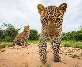 South Luangwa is known as the 'Valley of the Leopard'.