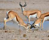Springbok occur across Etosha National Park.