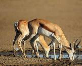 Springboks enjoy semi-arid and arid environments.