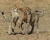 Encounter cheetahs while on safari with your family.