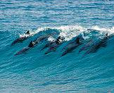 Dolphins are often spotted playing in the waves.