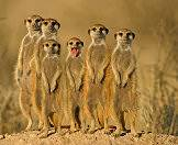 Meerkats thrive in large family groups.