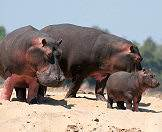 Hippo families are tight-knit and protective units.