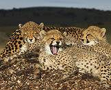 A trio of cheetah cubs and their mother unwind on a sturdy mound.