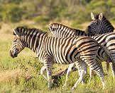 A trio of zebras wander through wooded savanna.