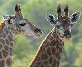 A charming pair of giraffe calves spotted on safari.