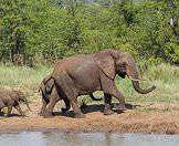 A family of elephants approach a waterhole for a dip and a drink.