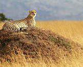 A cheetah rests upon an elevated mound in the open grasslands.