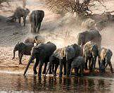 A herd of elephants amble down to the banks of the Chobe River.