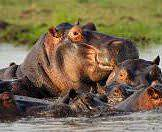 Hippos cluster against one another in the waters of the Chobe River.