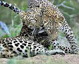 A leopard and her cub share an affectionate moment.