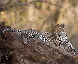 A leopard relaxes on a fallen tree.