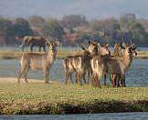 A herd of waterbuck gather on a riverbank.