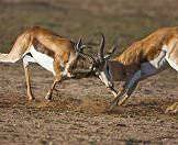 A pair of springbok rams clash.