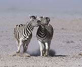 A pair of zebras nip at one in another in challenge.