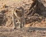 A leopard crouches low to stalk its prey.
