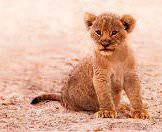 A lion cub looks curiously in the direction of the camera.