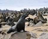 Cape fur seals bark on the shores of Cape Cross.