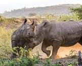 A fierce clash between rhinos in Hluhluwe-iMfolozi Game Reserve.