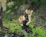 A lion cub plays with the stump of a dead tree.