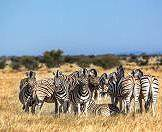 A dazzle of zebras herd together in a wooded savanna.