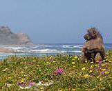 A baboon looks out over the coast at the Cape of Good Hope Nature Reserve.
