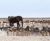 Elephants, gemsbok, springbok, ostriches and zebras converge on a waterhole in Etosha.