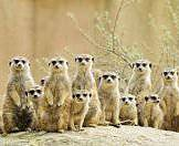 A baker's dozen of meerkats spotted on safari.