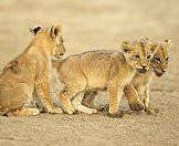 A trio of lion cubs lope through a dry riverbed.