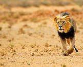 A formidable lion approaches across the Kalahari.
