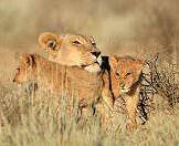 A lioness relaxes with her cubs amidst tall grasses.
