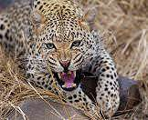 A leopard snarls in warning.