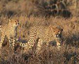A pair of cheetahs stalk cautiously through the grasslands.