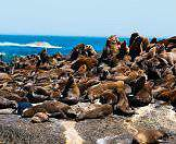 Cape fur seals cluster together on the rocky shores of Cape Cross.