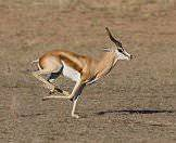 A springbok races across the veld.