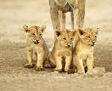Muddy lion cubs sit obediently behind their mother.