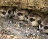 A quartet of meerkats clustered together in beneath a log.